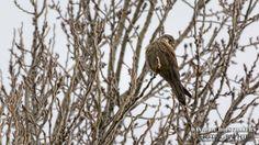 Faucon crécerelle (Falco tinnunculus - Common Kestrel)