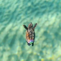 Best photos, images, and pictures gallery about baby sea turtle - sea turtle facts. Best photos, images, and pictures gallery about baby sea turtle - sea turtle facts. Cute Little Animals, Cute Funny Animals, Turtle Facts, Tiny Turtle, Turtle Baby, Baby Sea Turtles, Happy Turtle, Turtle Time, Cute Turtles