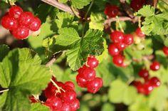 #redcurrants #potager #gardening  http://soupedupgarden.blogspot.fr/2013/06/pesto-is-not-just-basil.html