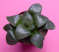 Haworthia Nikko in 5,5 cm pot