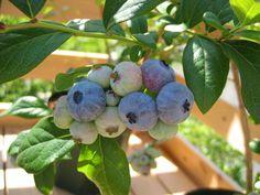Northern Highbush Blueberry Blueray http://berryslife.com