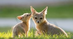 Swift Fox with pup so cute