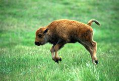 baby bison enjoying life
