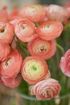Ranunculus/is a category of flowering plants in the family Ranunculaceae. The petals are typically very lustrous, particularly in yellow types, owing to a unique coloration mechanism: the flower's top surface is smooth triggering a mirror-like reflection. Ranunculus Flowers, Peach Flowers, Diy Flowers, Beautiful Flowers, Wedding Flowers, Exotic Flowers, Pink Peonies, Pink Roses, Yellow Roses