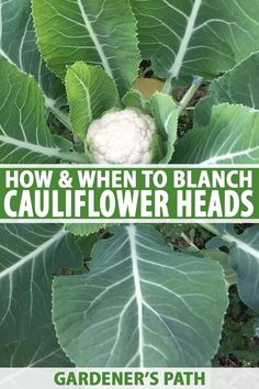 Cauliflower is one of the more difficult cool-season vegetable crops to cultivate. In addition to meeting weather challenges, some varieties require blanching to protect developing heads from sun dama Colorful Vegetables, Organic Vegetables, Growing Vegetables, Veggies, Growing Cauliflower, Cauliflower Roasted, Cauliflower Tacos, Big Garden, Gardens
