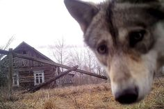Orevichi, Belarus: A wolf looks into the camera at the exclusion zone around the Chernobyl nuclear reactor in the abandoned village of Orevichi Ukraine, Wolf, Chernobyl Disaster, Nuclear Disasters, Reportage Photo, Hunting Rifles, Fauna, Photos Of The Week, Medieval
