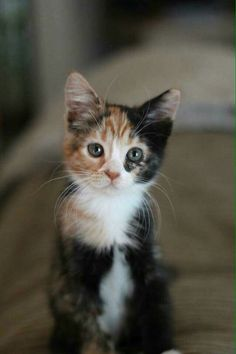 sweet calico kitten