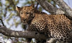 Animals - Hanging Out, African Leopard, Tanzania, Africa Wild Animals In Africa, Wild Animals Photos, African Animals, Tanzania Africa, Kenya, Amazing Beasts, Leopard Wallpaper, African Leopard, Wild Dogs