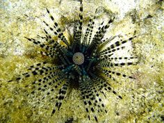One creature with the weirdest structure of tongue is the Sea Urchin. Sea Urchin's mouth is made up of five calcium carbonate teeth or jaws, with a fleshy tongue-like structure within. Aristotle's Lantern is the term for the entire chewing organ of Sea Urchin.