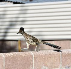 Road Runner, New Mexico State Bird