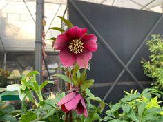 #winter #flowers Lenten Rose, Winter Flowers, Facebook Sign Up, Flower Pots, Plants, Flower Vases, Plant Pots, Plant, Planters