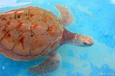 Island turtles photo series by Marcy Ann Villafana at ExhibitionNest.com to see more visit www.Villafanaart.com Photo Series, Turtles, Caribbean, Ann, Island, Artwork, Photography, Tortoises, Work Of Art
