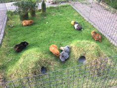 Bunny Sheds, Rabbit Shed, Rabbit Farm, Pet Rabbit, Guinea Pig Hutch, Guinea Pig House, Pet Guinea Pigs, Outdoor Rabbit Hutch, Indoor Rabbit