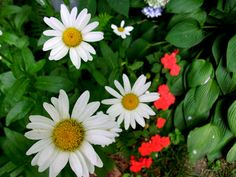 Daisies, hostas - and are those red peepers begonias?