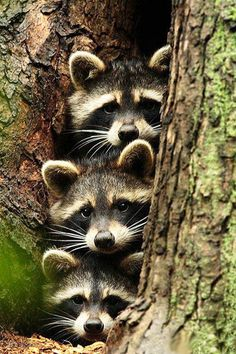 3 cute racoons ~ they are feisty little critters! My Daddy & his brothers consistently had pet racoons while they were growing up! Much to the distress of my Grandma & the 3 sisters! (yes, they would bring them in the house!~would put 'em  in their chest of drawers for their bed!)