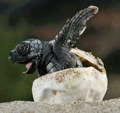 A brand new baby sea turtle....