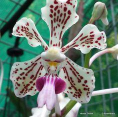Vanda Orchid [original]