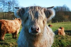 Highland cows :)