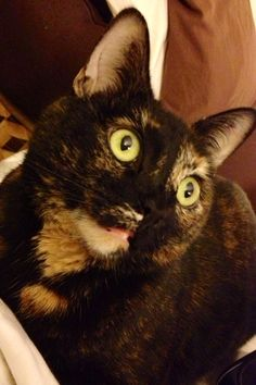 #tortie #cat #mimsy