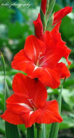 красный гладиолус фото - Поиск в Google
