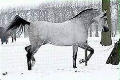 Madras Kossack (Adres {Drug x Agata by Gusar} x Mamba {Balaton x Malutka by Salon} 2001 grey stallion bred by The Kossack Stud, the Netherlands