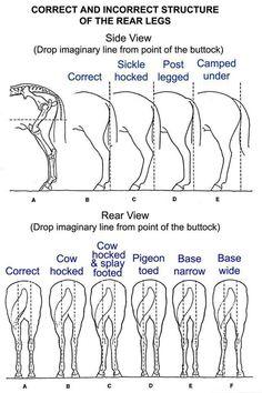 equine limb anatomy | Horse Leg Conformation