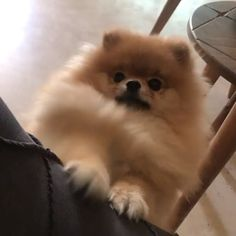 Popular Dog Accessories Where iz dat treat? ( Dog Accessories Where iz dat treat? Chihuahua Puppies For Sale, Cute Puppies, Cute Dogs, Dogs And Puppies, Doggies, Spitz Pomeranian, Cute Pomeranian, Pomeranian Haircut, Pomeranians