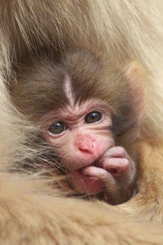 Infant Snow Monkey