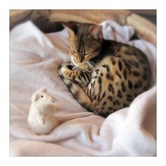 Ujamaa and Mouse  Bengal Kitten, Black Tabby Spotted