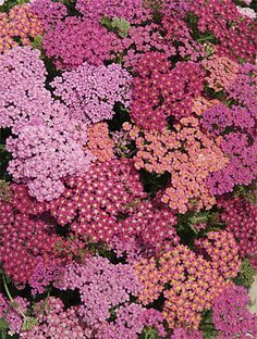 Achillea Cherries Jubilee