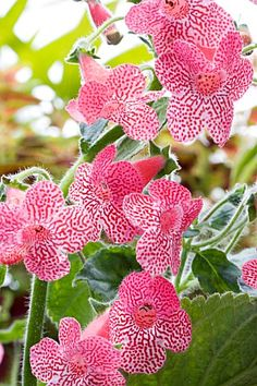 pink Kohleria 'Sunsine' orchids #Orchids http://growingorchids.biz/
