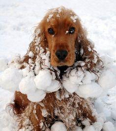 English Cocker -Yowtch! Poor puppy!