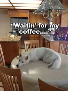 Crazy huskies! She's not allowed to have coffee – can you imagine a husky on joe?