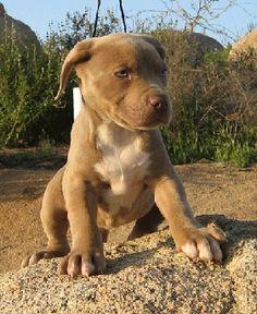 love pit bulls!