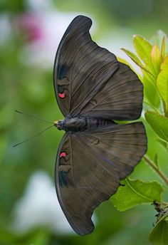 black moth - photographer anyone? Cool Insects, Flying Insects, Bugs And Insects, Beautiful Bugs, Beautiful Butterflies, Simply Beautiful, Butterfly Kisses, Butterfly Wings, Butterfly Chrysalis