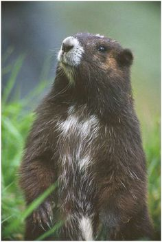 This marmot is found only in the high mountainous regions of Vancouver Island, in British Columbia, the Canadian Species at Risk Act listing it as endangered in May 2000. In 1998, the population reached an all-time low of 75 individual.The ultimate goal is to restore a sustainable population of 400-600 Vancouver Island marmots in the wild.