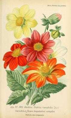 gravures fleurs de jardin - gravure de fleur de jardin 0295 dahlia variabilis - varietes a fleurs capitules simples - Gravures, illustrations, dessins, images