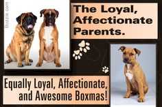 boxer-mastiff mix breed