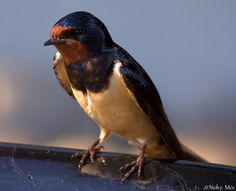 Swallow by nicky-mcc, via Flickr
