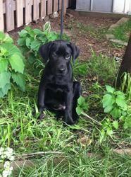 Huey: Labrador Retriever, Dog; Burlington, ON