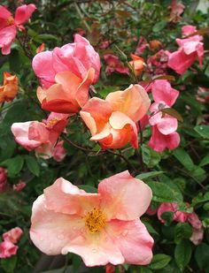 Mutabilis - tends to be paler in hot climate and full sun, but still glorious...