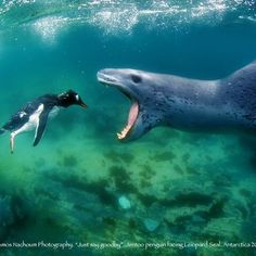 Pic by Amos Nachoum    http://www.xray-mag.com/content/swim-emperors-unique-biganimals-adventure    Leopard Seal / Leopardo Marino / Hydrurga leptonyx    During the summer months, it hunts among the pack ice surrounding the continent, spending almost all of its time in the water / Durante los meses de verano, caza entre los bloques de hielo que rodea el continente, pasando casi todo su tiempo en el agua