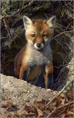 "The Carl Brenders painting of a cute Red Fox kit """"Just Shy of Sly"""" is now published as a giclée on canvas hand signed by the artist. Canvas size: 16 x fox kit is not quite old enough to be c Wildlife Paintings, Wildlife Art, Animal Paintings, Animal Drawings, Animals And Pets, Baby Animals, Cute Animals, Wolf Hybrid, Vida Animal"