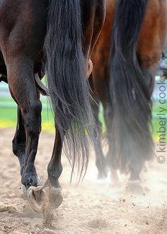 horse tails  www.thewarmbloodhorse.com