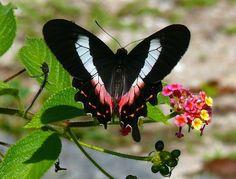 borboletas de verdade - Pesquisa Google
