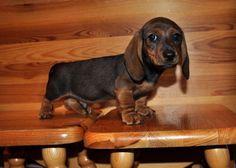 ♥♥♥ dauchshund dauchshunds weenier weeniers weenie weenies hot dog hotdogs doxie…