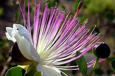 kwiaty tropikalne | Kapari Bitkisi ve Kaparinin Faydaları | SifaliBitkileriniz