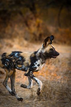African Wild Dog by Roger & Pat de la Harpe