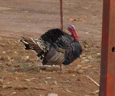 People here have started raising turkeys! It's called a dendo in Kinyarwanda.