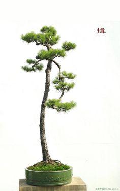 Một số tác phẩm Bonsai Hàn Quốc - P.2